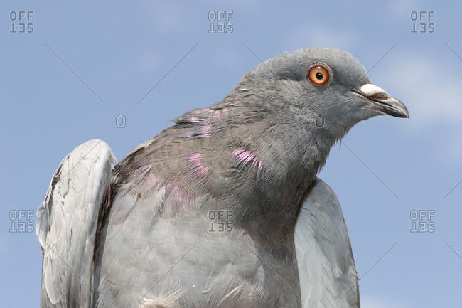 Portrait of a rock dove, Columba livia.