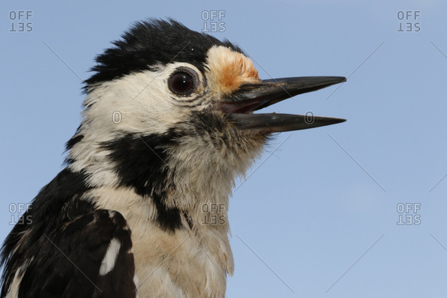 Close up of a Syrian woodpecker, Dendrocopos syriacus.