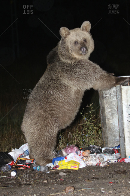 Sarikamis, Kars, Turkey - September 22, 2016: A brown bear, Ursus arctos, forages in a garbage bin.