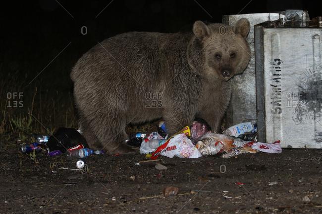 Sarikamis, Kars, Turkey - September 22, 2016: Brown bear, Ursus arctos, forages in garbage bin.