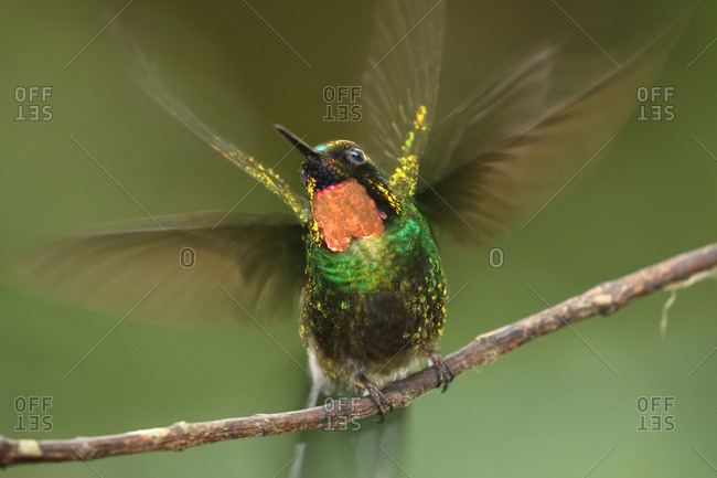 Close up of a flame-throated sunangel, Heliangelus micraster, perching on a twig.