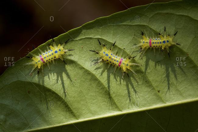 Three slug moth caterpillars on a leaf in Gunung Palung National Park.