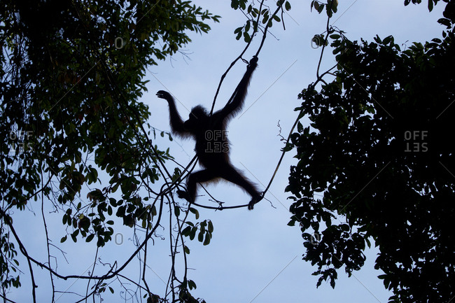 Adult female Bornean orangutan, Pongo pygmaeus wurmbii, with an injured left foot, swings from the trees in Gunung Palung National Park.