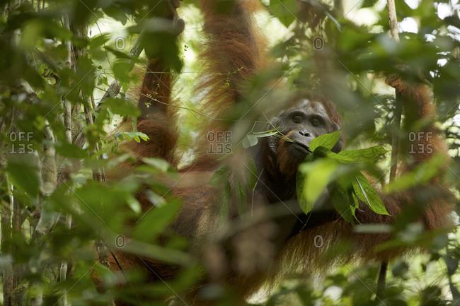 An adult male Bornean orangutan, Pongo pygmaeus wurmbii, hangs from a tree branch in Gunung Palung National Park.