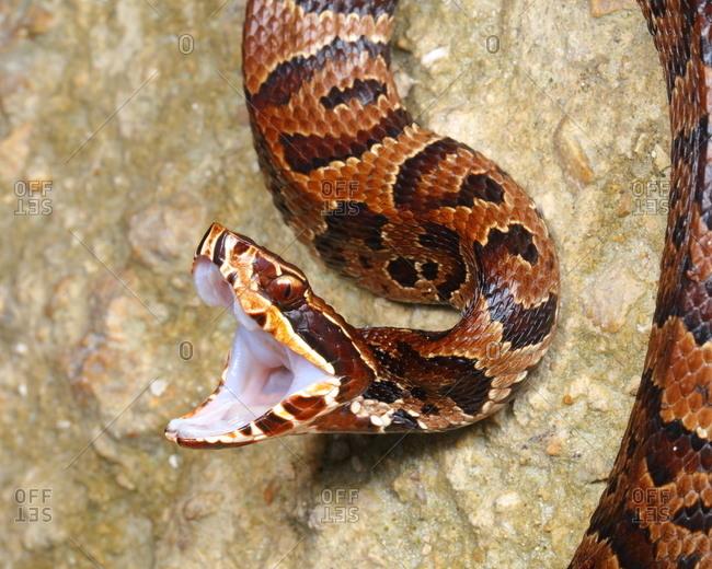A Florida cottonmouth, water moccasin, Agkistrodon piscivorus, is capable of delivering a fatal venomous bite.