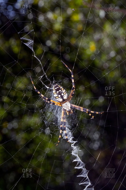 Close up of a garden spider, Araneae species, on web.
