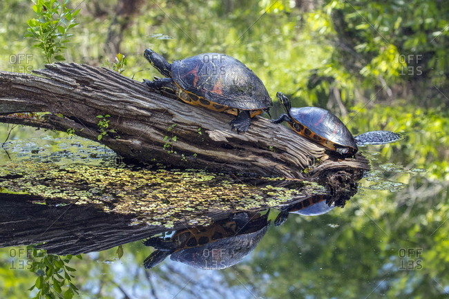 Florida red bellied cooters, Pseudemys nelsoni, on a log.