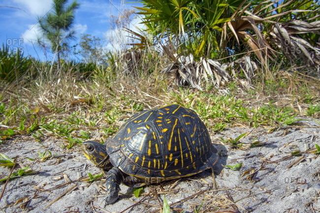 A Florida box turtle, Terrapene Carolina bauri.