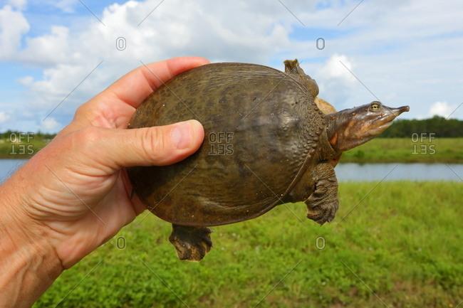 A man holds a Florida softshell turtle, Apalone ferox.