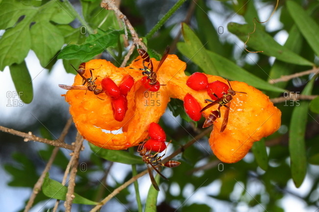 Wasps eating an balsam apple, Momordica charantia.