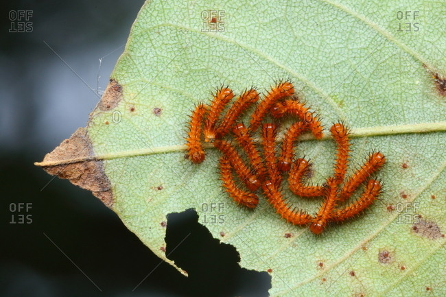 Close up of second instar Io moth larvae, Automeris io.