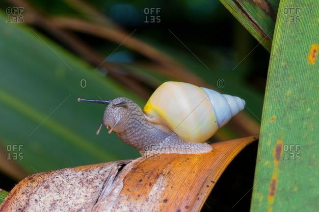 Close up of a Florida tree snail, Liguus fasciatus.