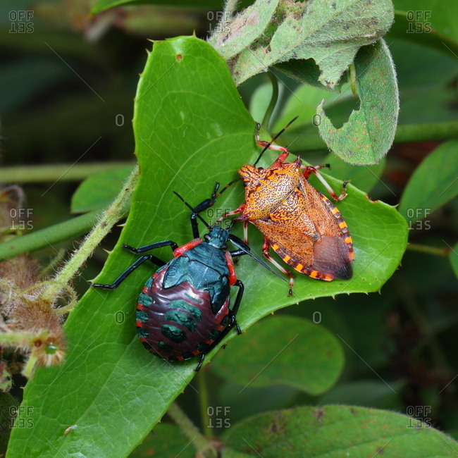 Giant strong nosed stink bugs, Alcaeorrhynchus grandis, adult and last instar nymph resting on a plant.