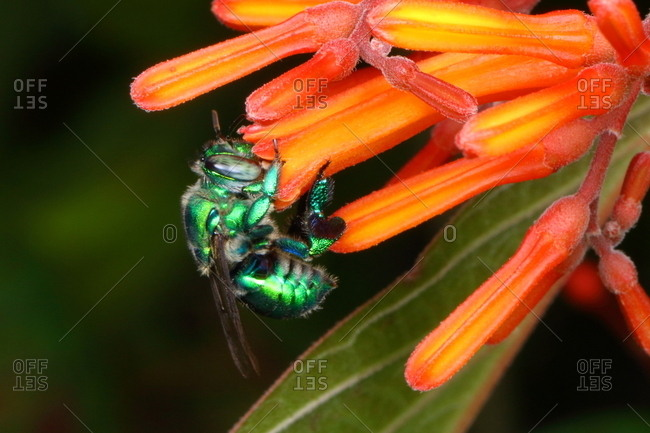 An orchid bee sips firebush nectar.