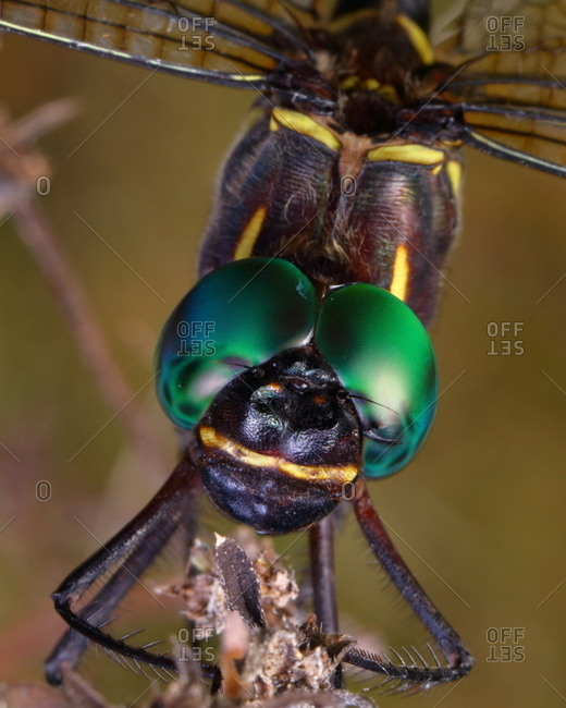A regal darner dragonfly, Coryphaeschna ingens, after emerging from the nymph stage.