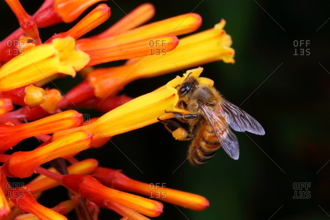 A honey bee, with pollen packages visible, sips nectar from a wildflower.
