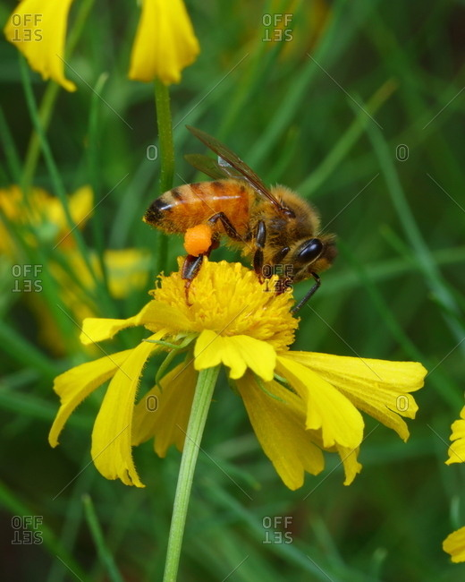 A honeybee, with visible pollen packages, sips nectar from a wildflower.