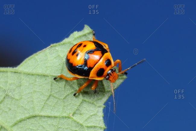 A predatory anchor stink bug, Stiretrus anchoratus, crawling on a leaf.