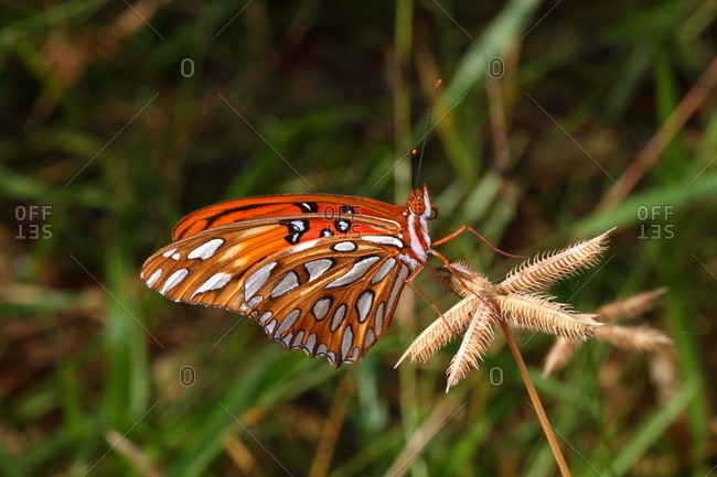 Close up of a gulf fritillary or passion butterfly, Agraulis vanillae.