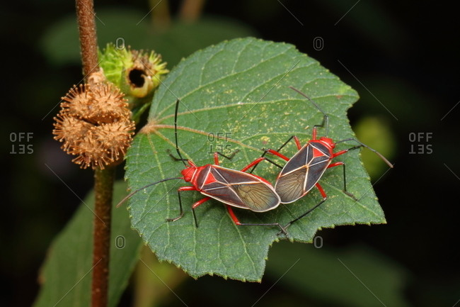 Close up of a pair of cotton stainers, Dysdercus andreae.