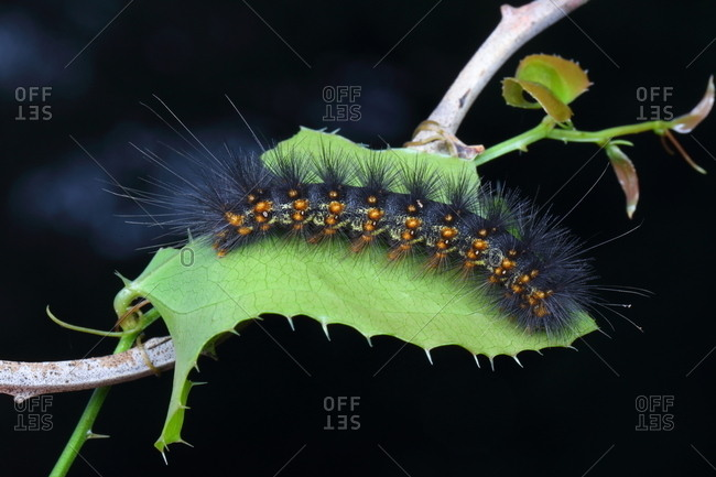 A salt marsh caterpillar, Estigmene acrea, resting on a leaf.