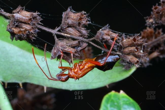 A bow-legged bug, Hyalymenus longispinus, crawling on a plant stem.