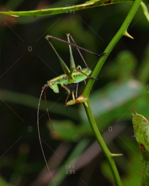 A fork-tailed katydid nymph of the genus Scudaria.