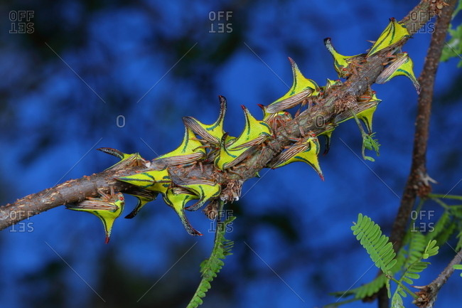 Thorn bugs, Umbonia crassicornis, on a palm frond.