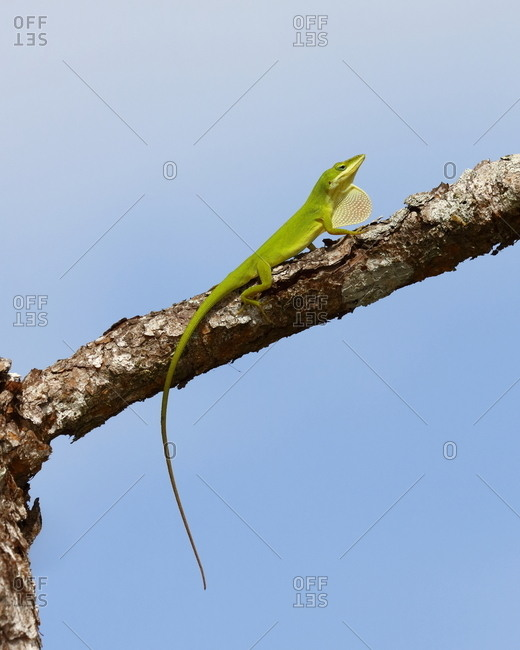 A green anole, Anolis carolinensis, resting on a tree branch.