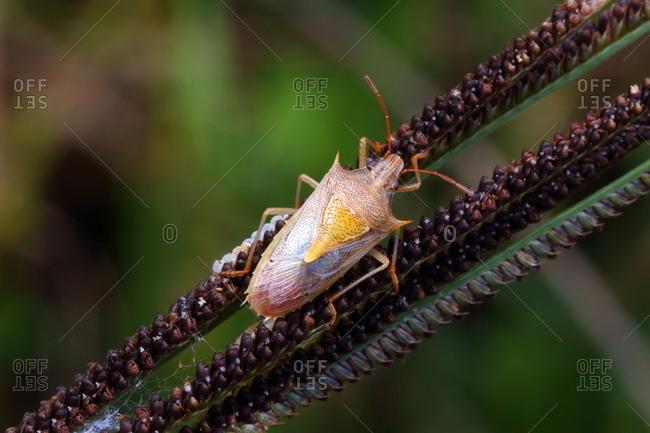 A rice stink bug, Oebalus pugnax, crawling on a plant stalk.