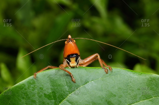 A cone-headed katydid, Belocephalus species, resting on a leaf.