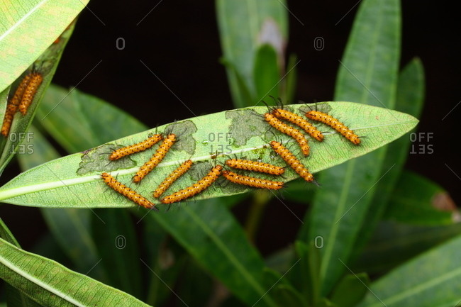 Orange and black larvae of the oleander moth, Syntomeida epilais.