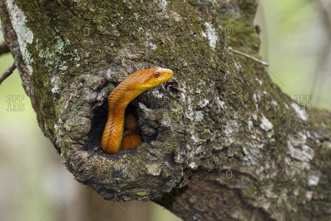 A yellow rat snake, Pantherophis obsoleta quadrivittata, holed up in a live oak tree.