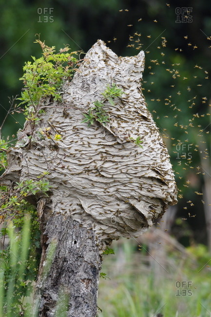 Yellowjacket hornets, Vespula maculifrons, in flight around their five foot tall hive built on a tree trunk.