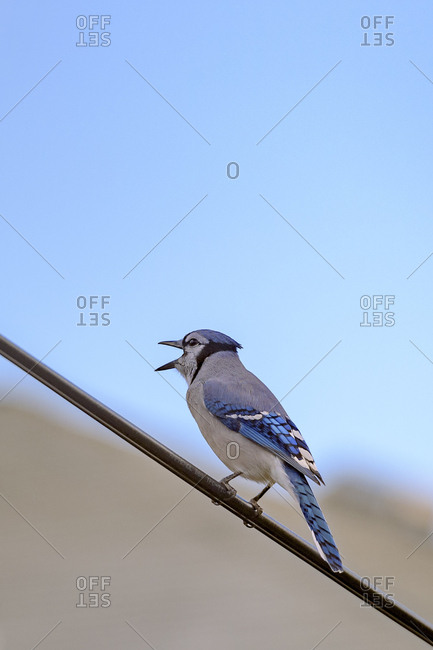 Close up of a singing blue jay, Cyanocitta cristata.