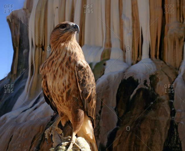 A tame hawk in Guelma hot springs in Algeria.