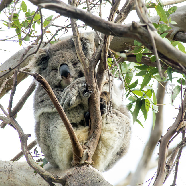 An old koala, Phascolarctos cinereus, relaxes on an gum tree in Great Otway National Park.