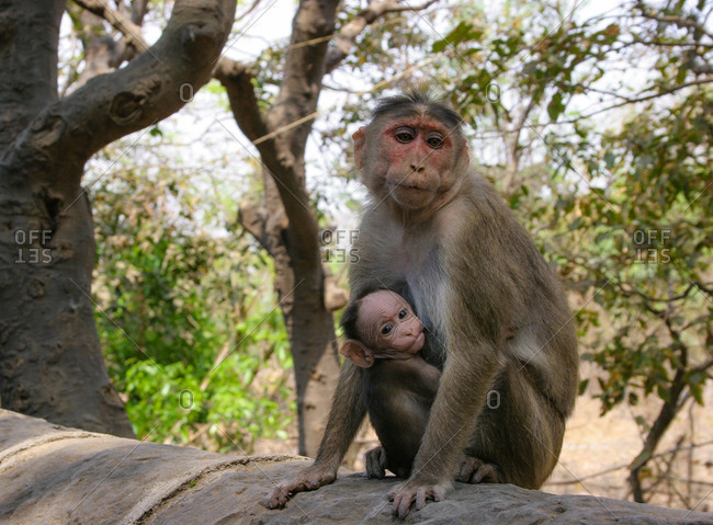 Portrait of a Rhesus macaque monkey, Macaca mulatta, with her infant.
