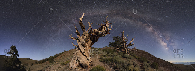 The Milky Way arc above ancient twisted Bristlecone Pines, Balfourianae, in California.