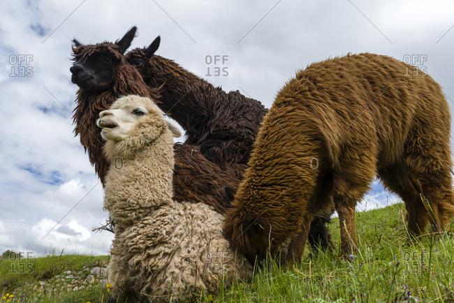 A group of Lama mating.