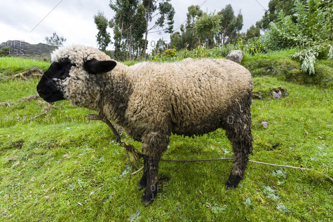 A black-faced sheep in a field in the Andes.