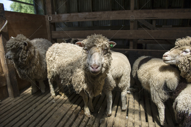 Sheep waiting for the farm shearer to shear their wool in a shearing shed.