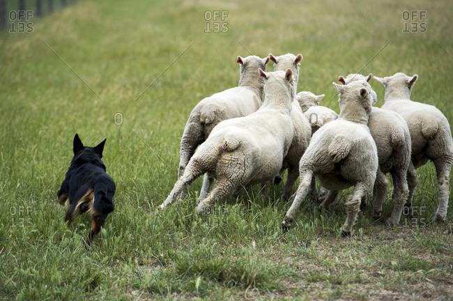 A kelpie dog herds sheep in a farm field.