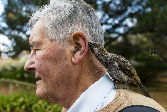 A Wattlebird licking the ear of an elderly man with it's long tongue.