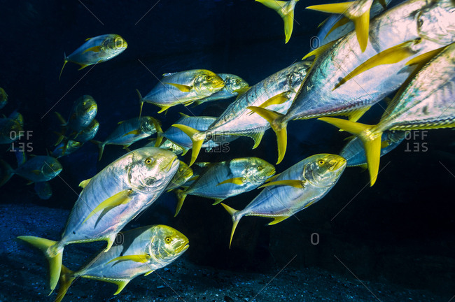 A shoal of silver and yellow Golden Trevally moving in formation in an aquarium.