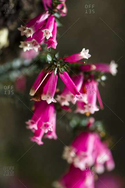 The delicate pink petals of a Fuchsia Heath flower.