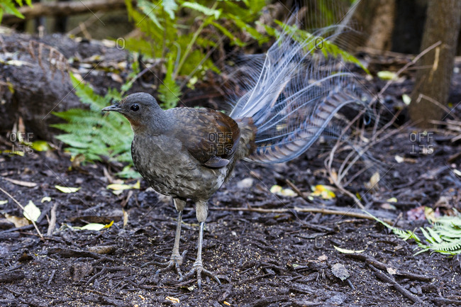 A male Superb Lyrebird foraging for insects on the forest floor understorey.