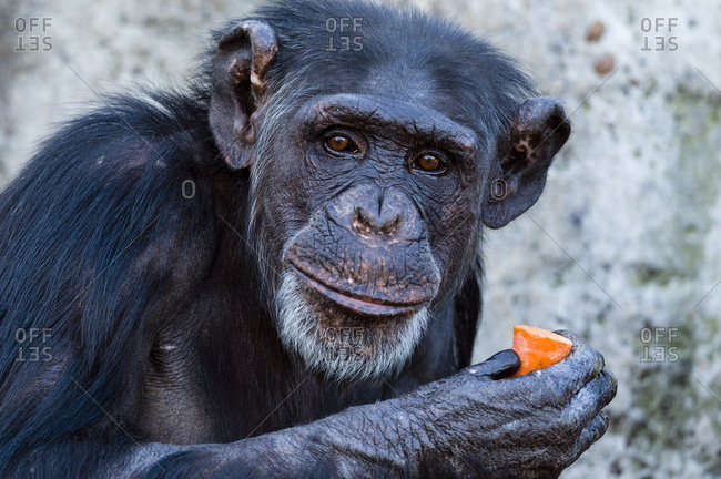 The bright inquisitive eyes and leathery face of a Chimpanzee eating a carrot.