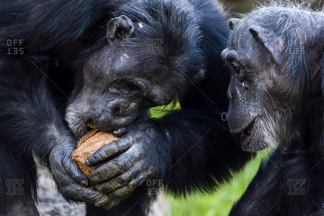 A Chimpanzee using its teeth and powerful jaws to crack open a coconut.