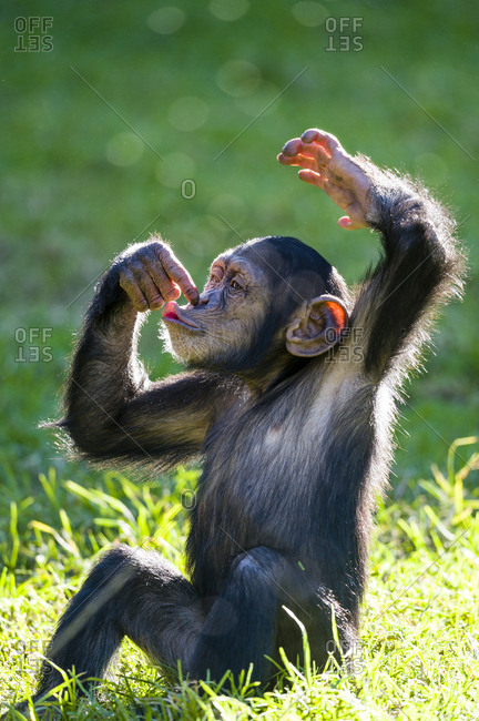 An infant Chimpanzee sitting and touching its nose with its finger.